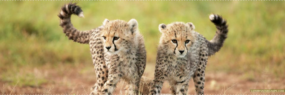 Cheetah cubs at Singita Sasakwa Lodge