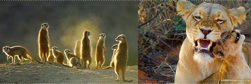 Tswalu Motse Lodge - Meerkats & Big Five