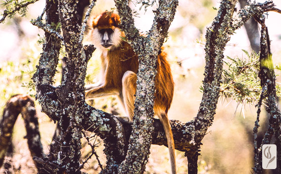 Segera Retreat Patas Monkey Project