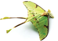 African Moon moth Argema mimosae; Moths of South Africa.