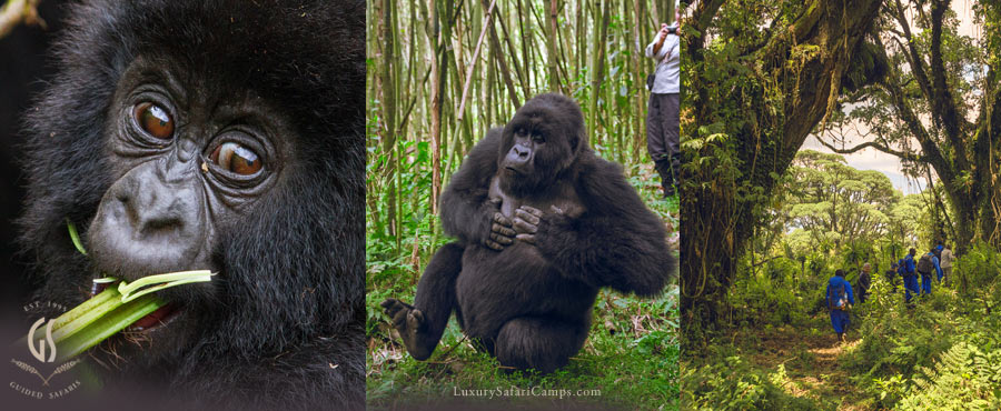 Bisate Lodge Gorilla Safaris